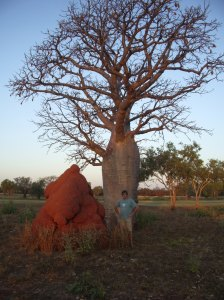 Termite mound and Boab Tree